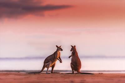 Gallery - Two Wallabies at Sunrise